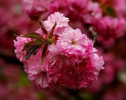 Pink Blooms by Angie Tirado