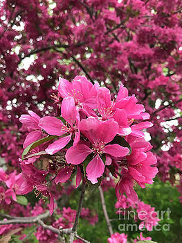 Pink Blooms by Brandy Woods
