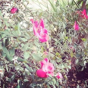 Pink Blooms.. #flowers #pink by Shyann Lyssyj
