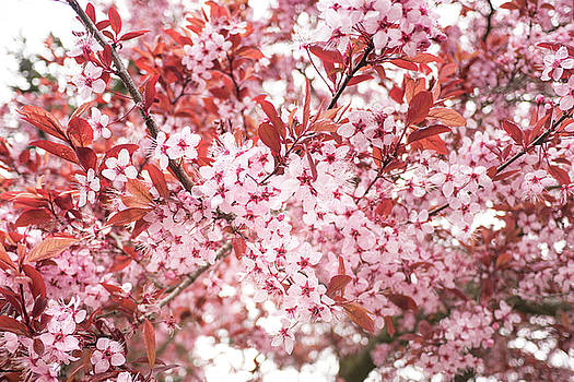 Pink Blossoms by Crystal Hoeveler