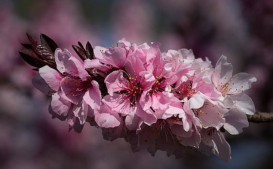 Cherry Blossoms by Denise McKay