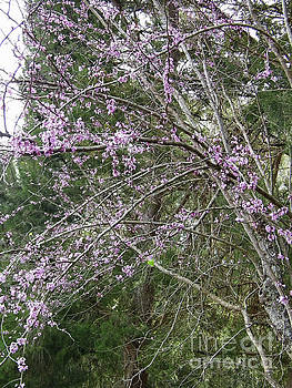 Pink Blossoms In The Redbud Trees by D Hackett