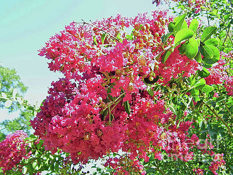 Pink Blossoms On The Crepe Myrtle by D Hackett
