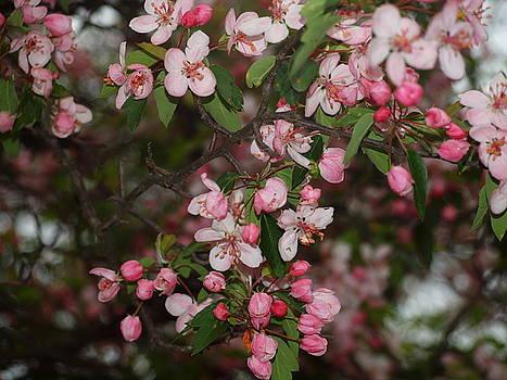 Tammy Bullard - Pink Blossoms