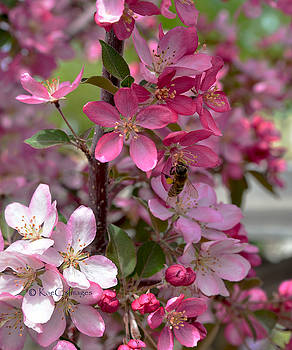 Pink Blossoms with Bee by Kae Cheatham
