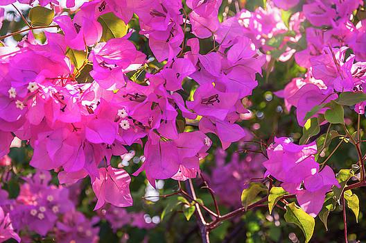 Pink Bougainvillea by Daniela Constantinescu