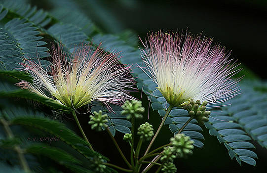 Pink Mimosa  by Yvonne Wright