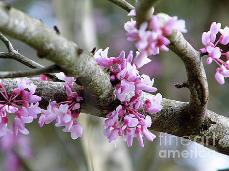 Pink Buds In The Redbud Tree by D Hackett