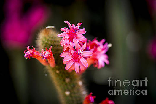 Pink Cactus Flower by Rich Governali