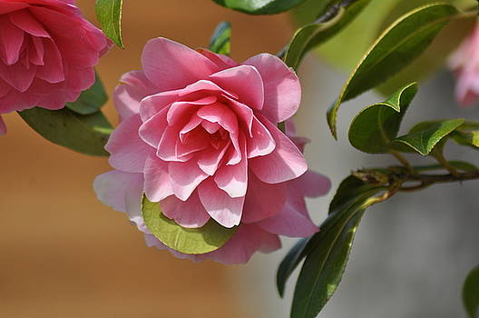 Pink Camelia by Colin Benson