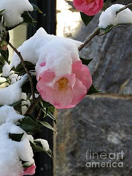 Pink Camellia in the Snow by Anita Adams