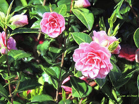 Jayne Wilson - Pink Camellias