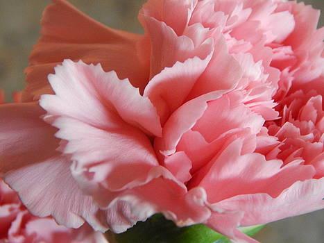 Pink Carnation by Hattie Schenck