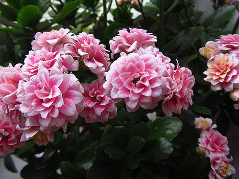 Pink Chalanhoe  by Galina Todorova