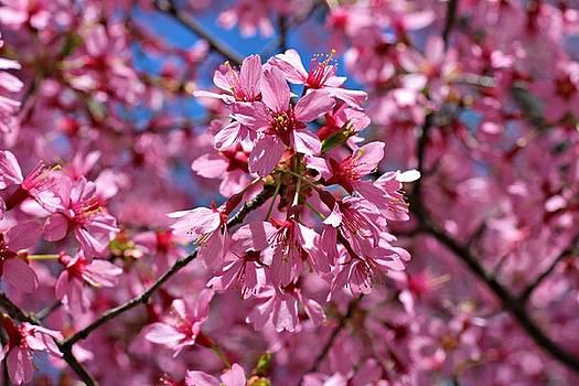 Andrew Davis - Pink Cherry Blossom Closeup