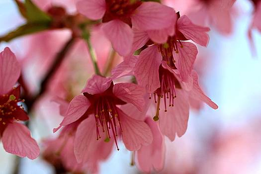 Andrew Davis - Pink Cherry Blossom Macro #2