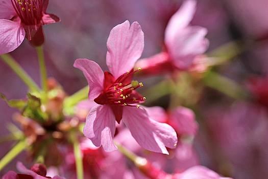 Andrew Davis - Pink Cherry Blossom Macro #3