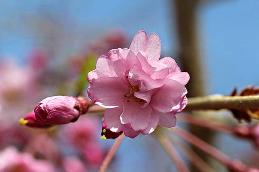 Andrew Davis - Pink Cherry Blossom Macro