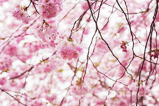 Sophie McAulay - Pink cherry blossom tree