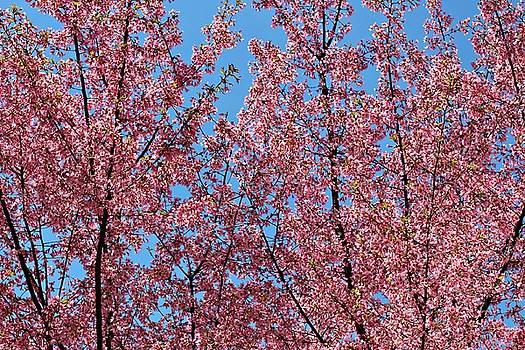 Andrew Davis - Pink Cherry Blossom Trees