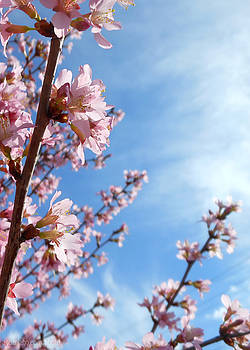 Pink Cherry Blossoms Branching Up To The Sky by Kristin Aquariann