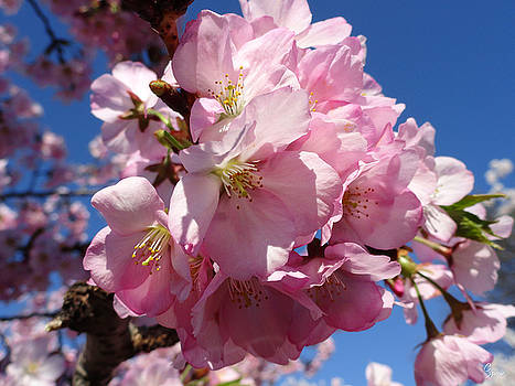 Pink Cherry Blossoms by Christopher Spicer