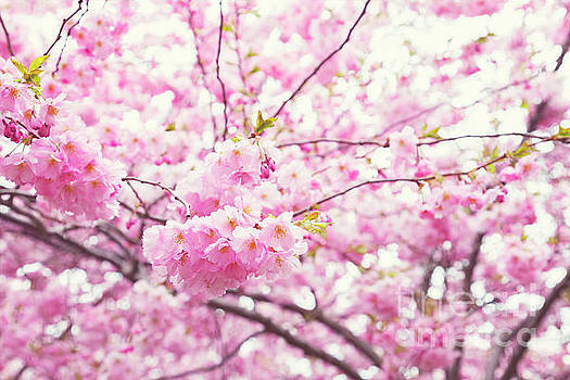 Sophie McAulay - Pink cherry blossoms