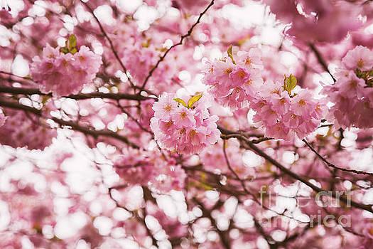 Sophie McAulay - Pink cherry tree
