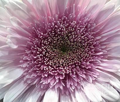 Lavender Chrysanthemum  by Jeannie Rhode