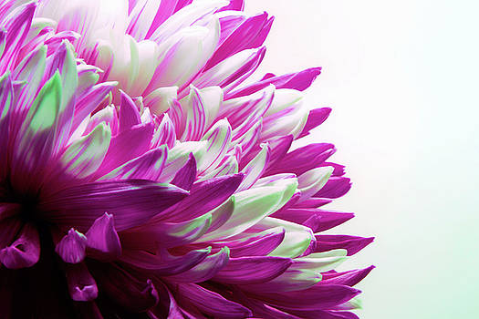 Pink Chrysanthemum  by Sandi Kroll