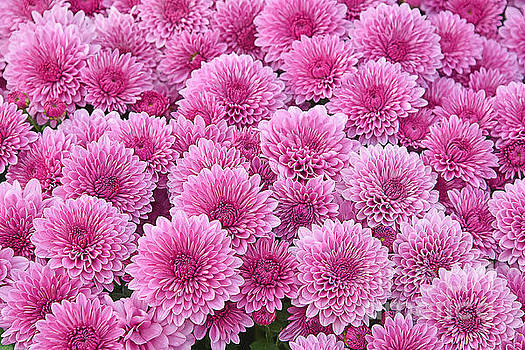 Regina Geoghan - Pink Chrysanthemums-For Breast Cancer Awareness