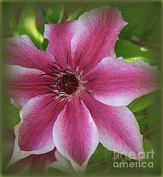 Pink Clematis in Full Bloom by Dora Sofia Caputo Photographic Art and Design