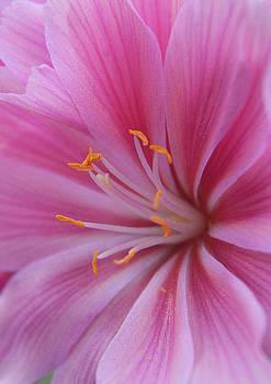 Pink close up by Emilia Brasier
