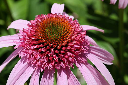 Pink Coneflower Close-up by Debi Dalio