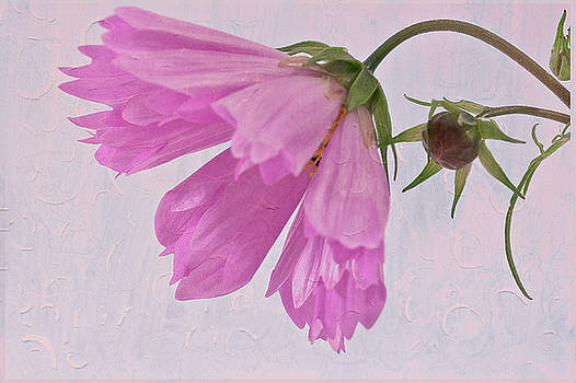 Sandra Foster - Pink Cosmo Flower And Bud