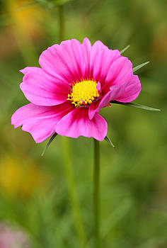 Pink Cosmo by Steve Augustin