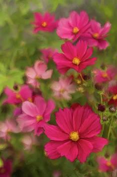 Pink Cosmos Portrait 3 by Karen Forsyth