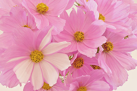 Sandra Foster - Pink Cosmos Sonata