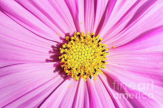 Pink Cosmos by Tanya C Smith