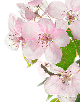 Pink Crabapple Blissoms by David Perry Lawrence