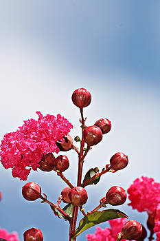 Pink Crape Myrtle- Fine Art Photography by KayeCee Spain