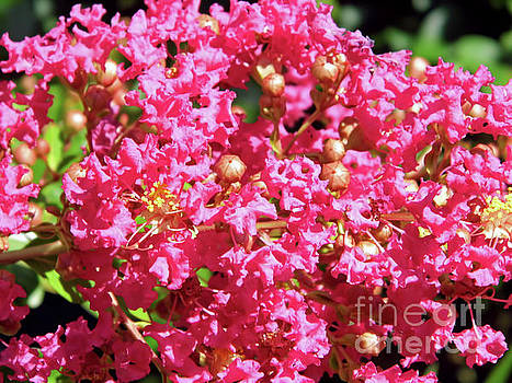 Pink Crepe Myrtle Blossom by D Hackett