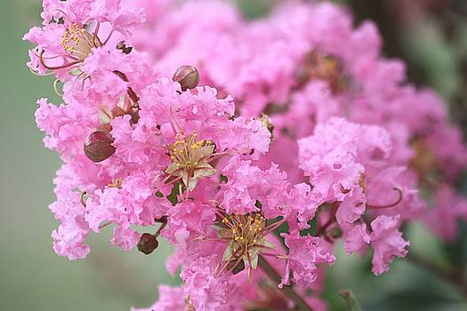 Pink Crepe Myrtle Close-up by Sheila Brown