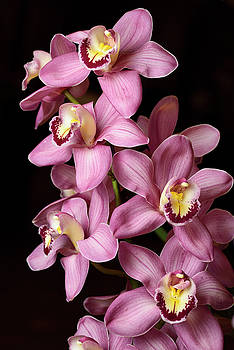 Reimar Gaertner - Pink Cymbidium Asilomar Wilsons Choice Boat orchid flower hybrid