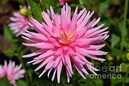 Pink Dahlia by Jeannie Rhode