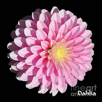 Pink Dahlia on Black by Gary Whitton