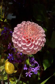 Susan Rissi Tregoning - Pink Dahlia