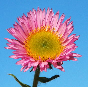 Pink Daisy against blue sky by The Creative Minds Art and Photography