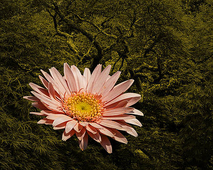 Pink Daisy by Jim Ziemer