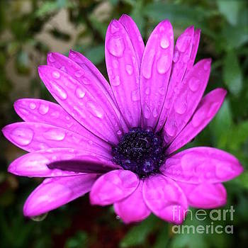 Pink daisy by Wonju Hulse